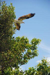 Osprey in a mangrove tre