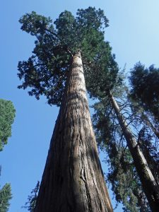 Giant sequoia tree in Sequoia National Park