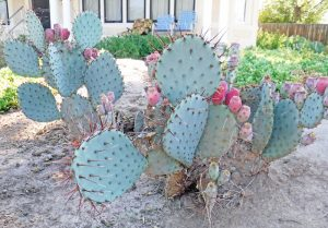 A cactus grows in a New Mexico yard