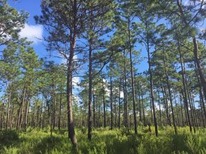 Pine flat woods of Ocala