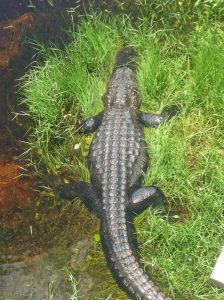 You can see alligators in Big Cypress National Preserve and Everglades National Park