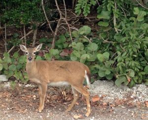 Find Key deer on Big Pine Key