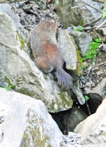 We spotted a nutria scrambling across the rocks at the Ijams Nature Center