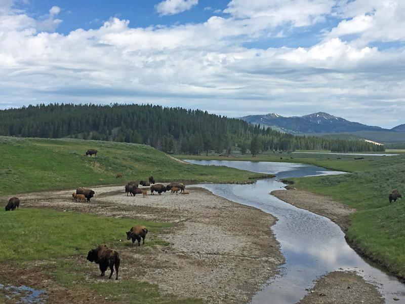 Hayden Valley bison - Yellowstone National Park with kids