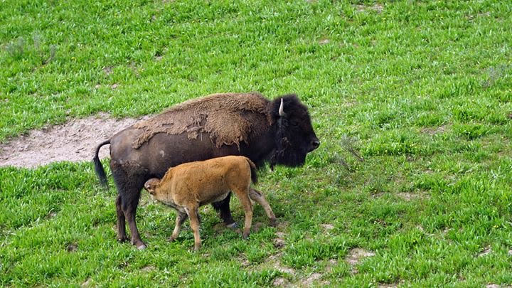 Bison and calf - Yellowstone National Park with kids