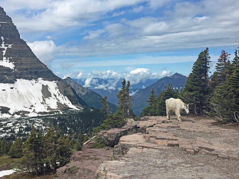 A mountain goat forages near Hidden Lake in Glacier National Park